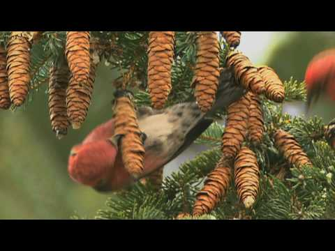How Nature Works: White-winged Crossbill Feeding Technique on YouTube