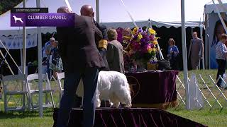 Spaniels Clumber | Breed Judging 2021
