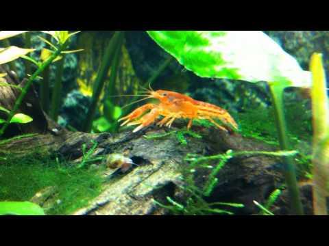 Mexican Dwarf Crayfish (Cambarellus Patzcuarensis Sp.)