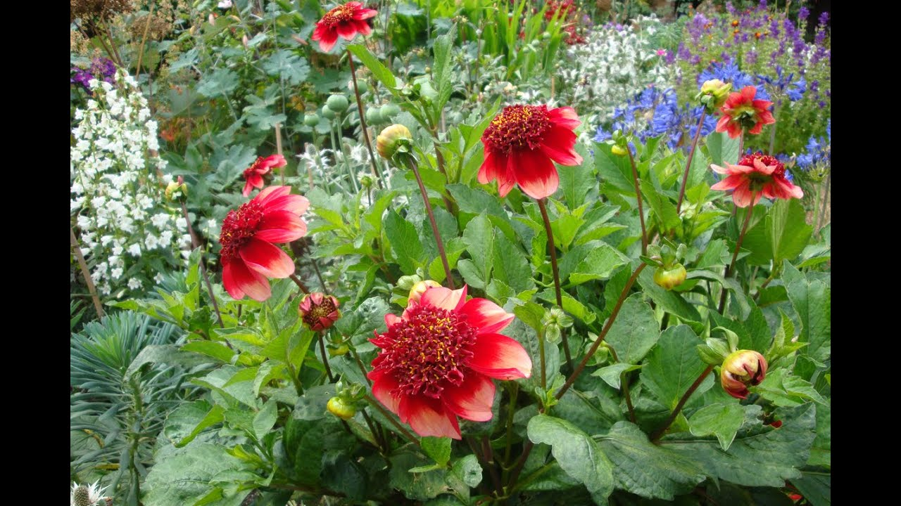 growing dahlias in pots
