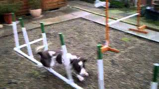 Dog Agility Springer Spaniel Weave Training