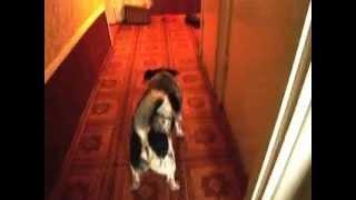 СобакаЧак и Тенториум.Как собака ест пчелопродукты.avi