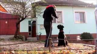 Lanka - Giant Schnauzer. The 5th Session Of Her Special Program, 2nd Outside Her Yard.