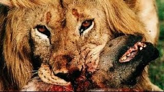 Lion Documentary  LION VS HYENA   FACE TO FACE!!! Classic Discovery HD 2016