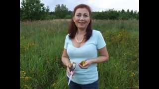 Izabela Kozieł - zbiór kwiatów dziurawca.