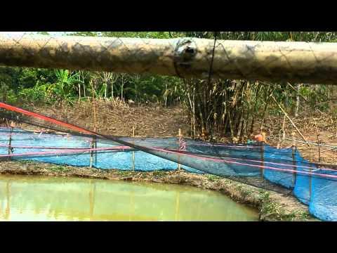 ปลาคาร์ฟ เลี้ยงบ่อดิน โดย ระยองโค่ย