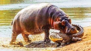Hipopotamo Vs Cocodrilo | EPIC VERSUS