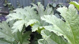 Gunnera Tinctoria - Chilean Rhubarb
