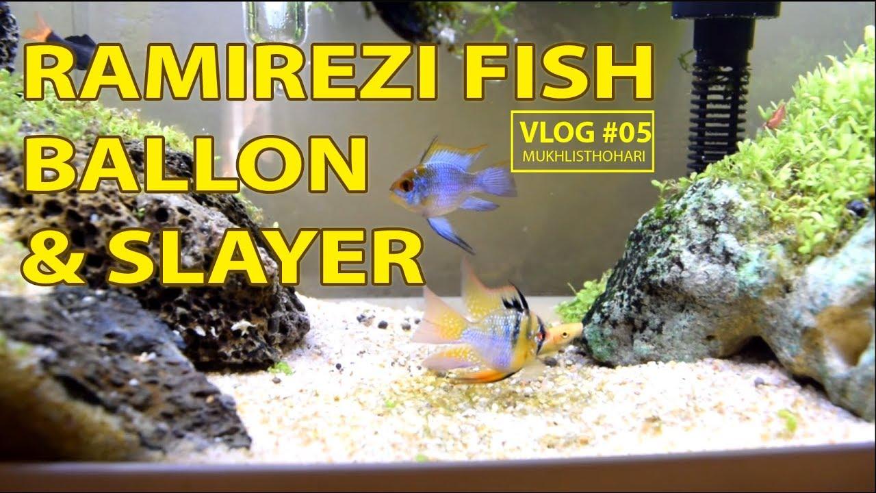 Ramirezi Fish Ballon Slayer
