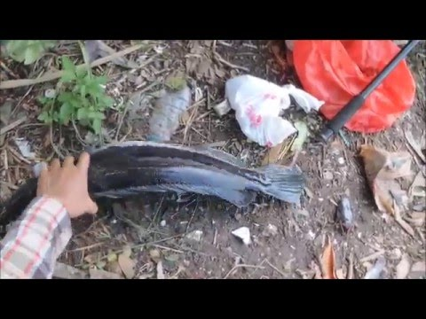 ตกปลาชะโดเหยื่อสดด้วยทุ่นลอย