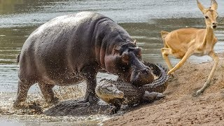 Elephants rescue Elephants from Animal Attack