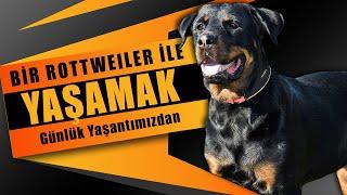 Rottweiler ile yaşamak V-01