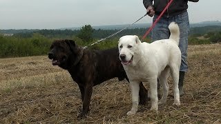 Central Asian Shepherd 5 months vs Cane Corso 7 years - playing, agressive & funny