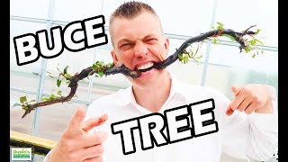 GREENHOUSE SAGA AND SPECIES SUNDAY: How To Make Aquarium Bucephalandra Tree