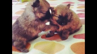 2 Sable Purebred Pomeranian Puppies For Sale.