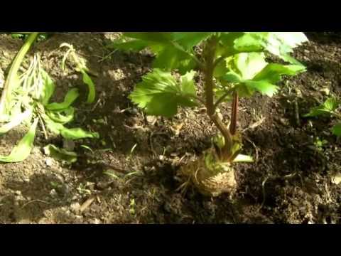 Сад и Огород: Корневой сельдерей секреты выращивания и ухода