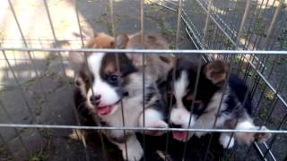 Puppies Pembroke Welsh Corgi Lupercus Kennel Bandung
