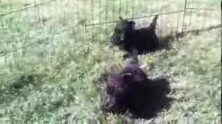 Cute Scottish Terrier Puppies 6 Weeks Old Playing And Sneezing