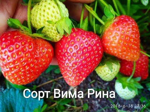 Сорт клубники Вима Рина