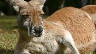 сумчатые животные австралии-забавный кенгуру
