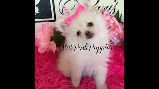 "White Pomeranian Puppy For Sale "" Melany"""