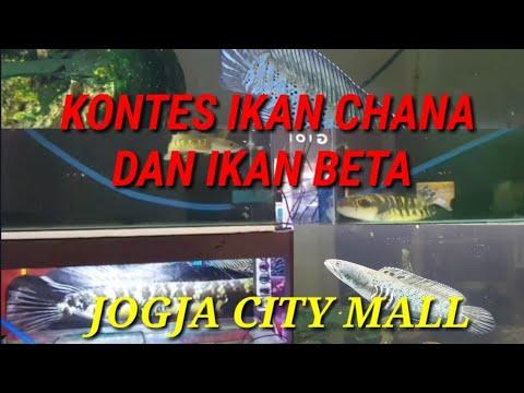 Download Kontes Chana Piala Prabu Kusumo di JCM #chana#konteschana#pialaprabukusumo