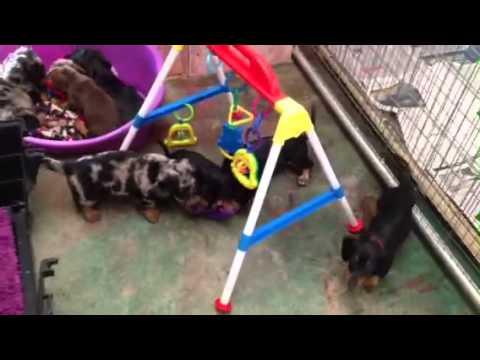 Dachshund Australia Puppies - Professional Pet Breeders Of