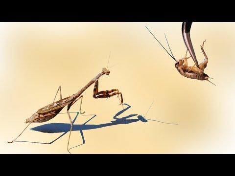 Lebendfütterung meiner Mantis und deren Häutung