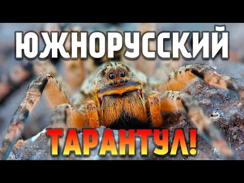 Южнорусский Тарантул (Lycosa Singoriensis) или Мизгирь - Содержание дома!