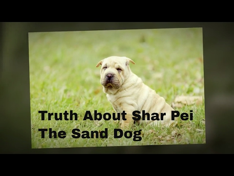 Chinese Shar Pei :Truth About Shar Pei The Sand Skin Dog