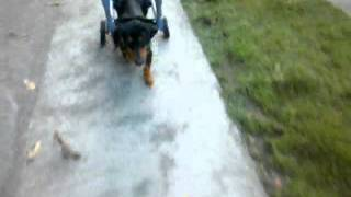 My dog, Piko up and running again, never give up.
