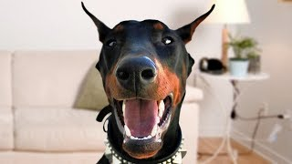 Funny Doberman Dog Compilation NEW