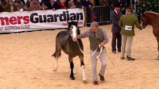 Merlod Cymreig Cob - Ebolion Blwydd   Welsh Ponies Cob - Colt Yearlings