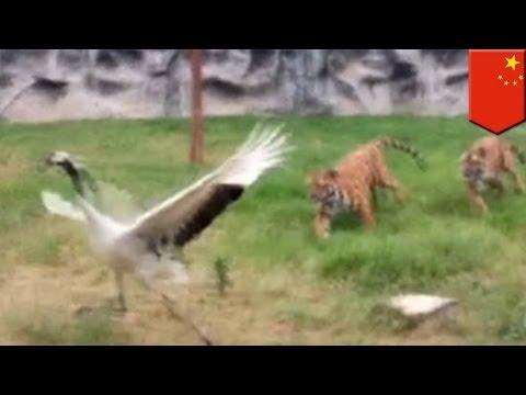 นกกระเรียนสู้เสือ โชว์เคล็ดลับเด็ดกังฟูจีน