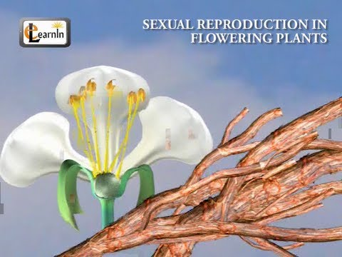 Sexual reproduction in flowering plants - Biology