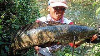 Mancing ikan gabus Monster / casting gabus /haruan /snakehead terasa casting toman