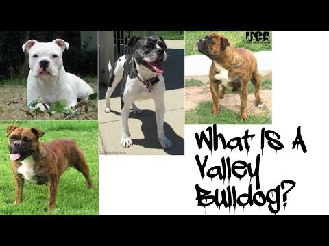 Introducing The Valley Bulldog!!!