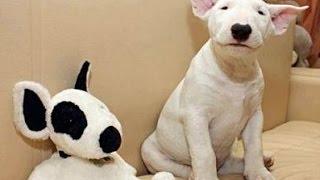 Мини Бультерьер Щенок резвится | Mini Bull Terrier Puppie acting crazy