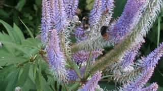 Veronica mit Hummeln,Bienen und Käfer