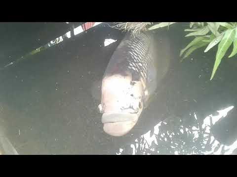 Ikan Gurame besar,Dan kura kura besar||Desya aurelia
