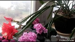 видео Цветок эпифиллум. Выращивание и уход в домашних условиях
