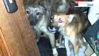 Калужская сумасшедшая превратила свою квартиру в притон для животных