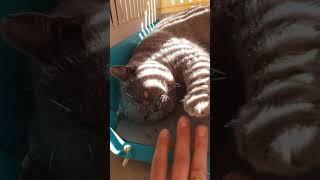 Shinobi Samurai zebra cat
