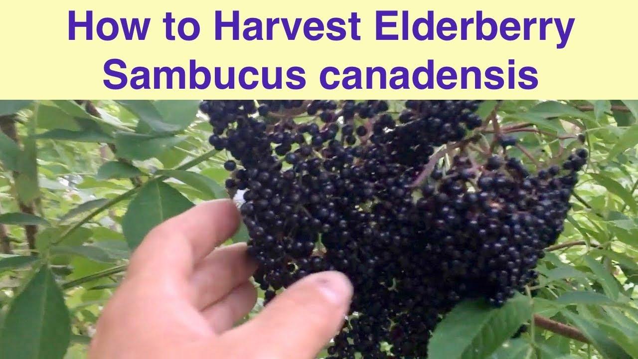 Harvesting Elderberry Youtube