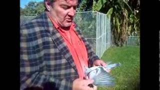 Racing pigeon wings , the ace way