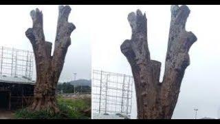 Cây gỗ 'khô' được trả giá 25 tỷ, năn nỉ chủ vẫn không bán