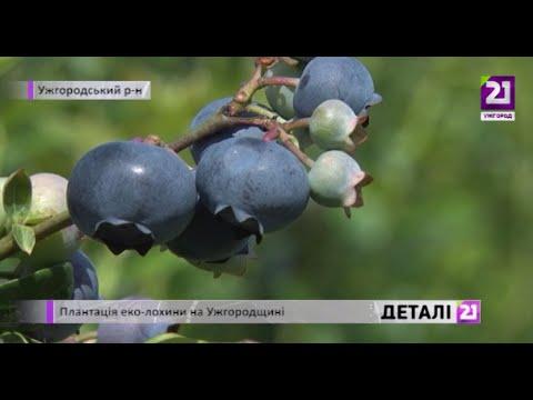 21 channel: Плантація еко лохини на Ужгородщині