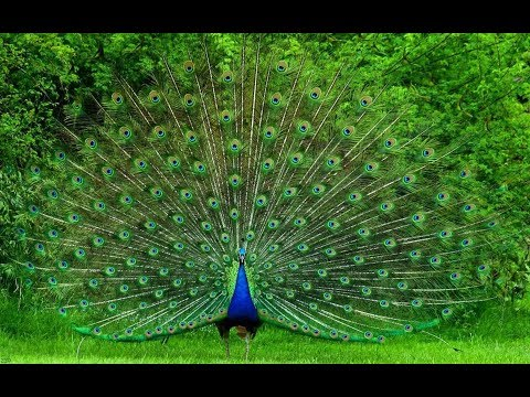 Beautiful Peacock Dance with natural sound