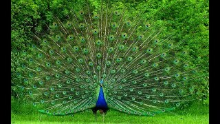 Beautiful Peacock Dance with natural sound - Pets Planet