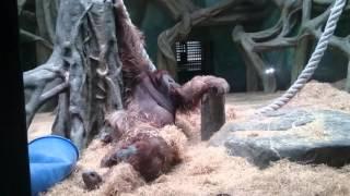 Брачные игры орангутангов в зоопарке 18+